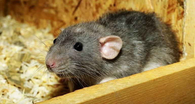 Roedores: ratas, ratones…
